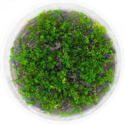 Eco Plant - Rotala Macandra...
