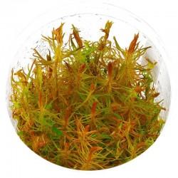Eco Plant - Rotala Vietnam...