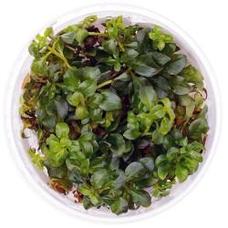 Eco Plant - Ludwigia Repens...