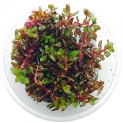 Eco Plant - Rotala...